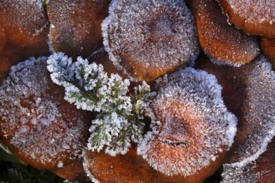 Ice crystals on fungi and branches
