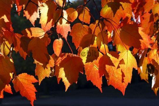 Tatar Maple (Acer tataricum ssp. ginnala), leaves in autumn colours, colourful foliage