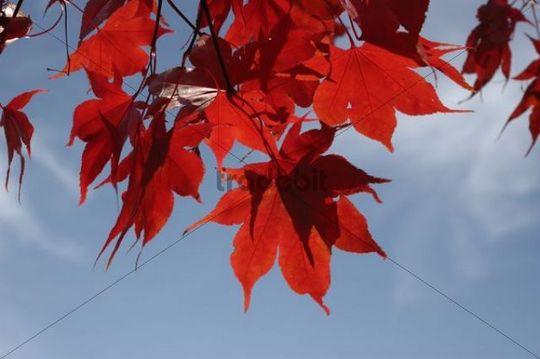 Downy Japanese Maple or Fullmoon Maple (Acer japonicum) with red autumn colouring against a blue sky