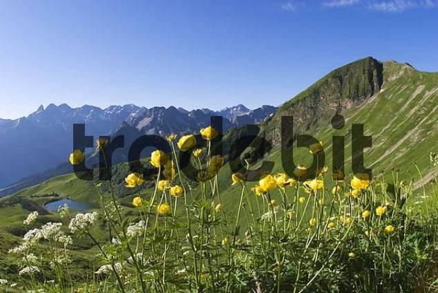 Globe Flower Trollius europaeus - lake Schlappoldsee Fellhorn Allgaeu Alps - Germany