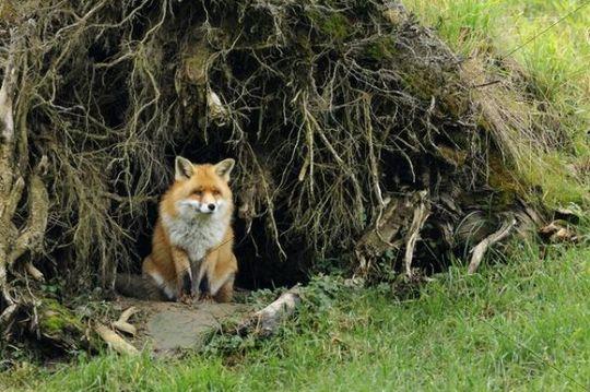 how to build a fox den