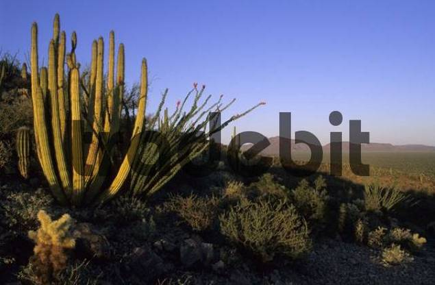organ pipe cacti at Organ Pipe National Monument