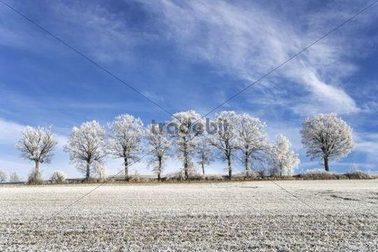 Oaks (Quercus robur) with hoarfrost, Galteren, Sense district, Freiburg, Switzerland, Europe
