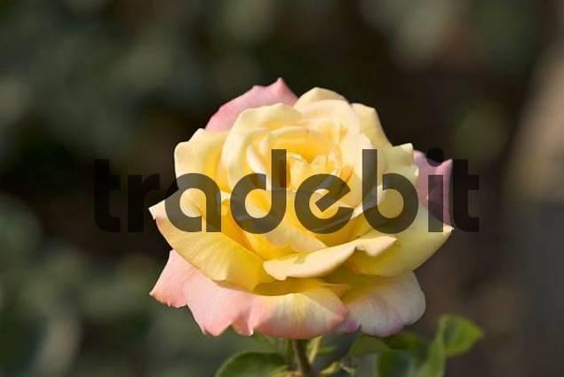 rose flower gloria dei download nature. Black Bedroom Furniture Sets. Home Design Ideas