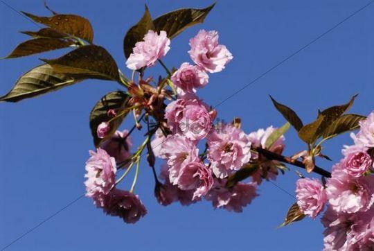 Flowering Cherry Plum or Myrobalan Tree (Prunus cerasifera)