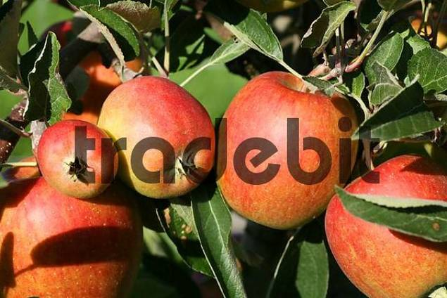 Apple harvest in Thurgau canton, Switzerland