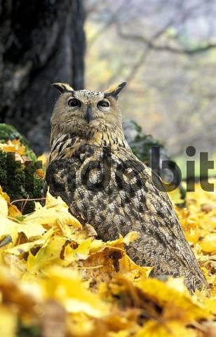 Eagle-owl Bubo bubo interpositus. Caucasus, Russia