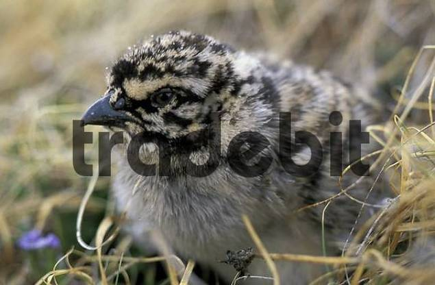 Snowcock chick / Tetraogallus altaicus. Southern Altai, Plateau Ukok, Russia