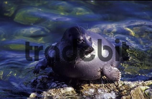 Baikal Seal / Phoca sibirica. Baikal lake, Russia
