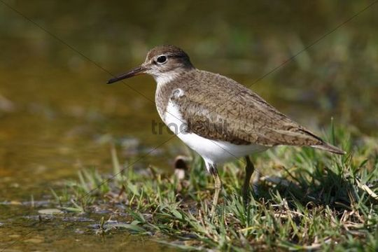 Common Sandpiper (Actitis hypoleucos) looking for food at the edge of a body of water