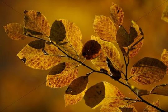 Beech (Fagus) leaves with backlighting in autumn
