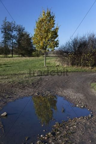 Reflection of an Oak (Quercus) in a puddle, Weinboehla, Niederau, Sachsen, Germany, Europe