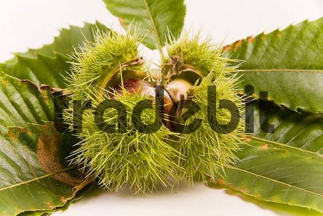 sweet chestnut Castanea sativa
