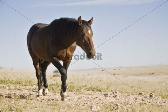 Wild horse, horse of the former German Schutztruppe protection troops in Namibia, Africa