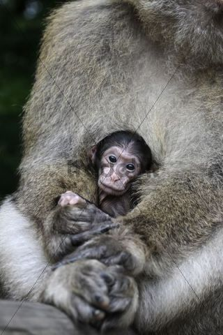 Barbary macaque (Macaca sylvanus), juvenile in mother´s lap
