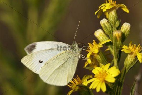 Small White (Pieris rapae), Croatia, Europe