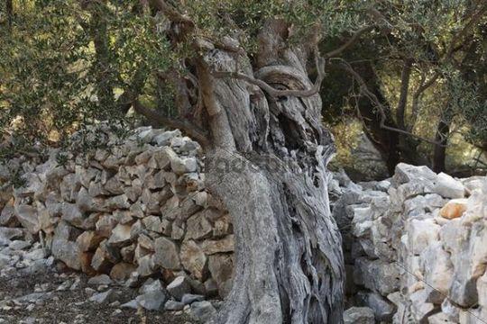 Old olive tree in front of stone wall, olive Lun, Pag island, Dalmatia, Adriatic Sea, Croatia, Europe