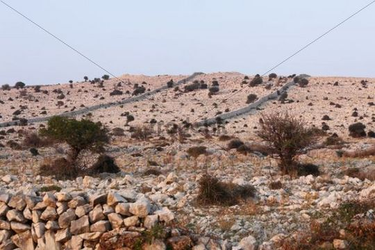 Shrub, barren landscape on the Lun peninsula, Pag island, Dalmatia, Adriatic Sea, Croatia, Europe