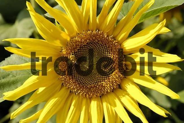 Sunflower Helianthus annuus with bee