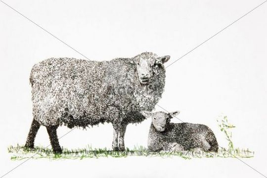 Sheep And Lamb Drawing Artist Gerhard Kraus Kriftel