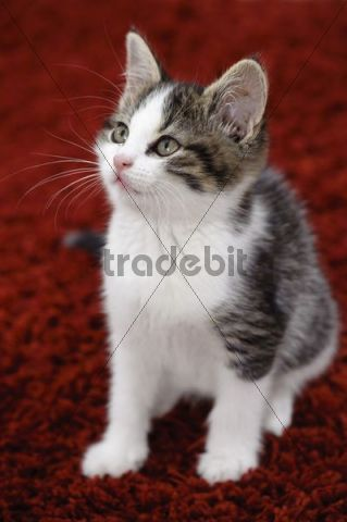 Young domestic cat