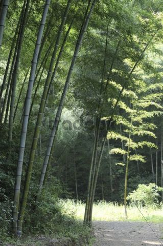 Bamboo forest, Anhui Province, China, Asia