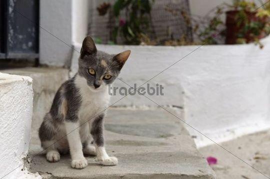 Cat in Piles, Karpathos, Aegean Islands, Aegean Sea, Greece, Europe