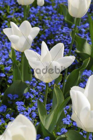 White tulips (Tulipa) with Forget-Me-not (Myosotis)