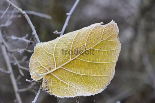 Leaf with hoarfrost