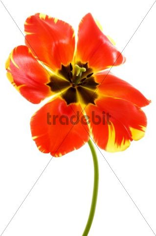 Red Tulip (Tulipa)