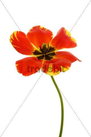 Red Tulip (Tulipa)