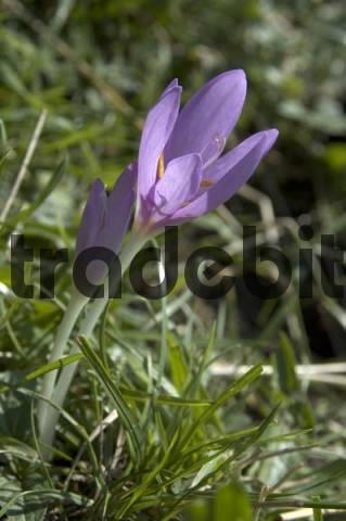 meadow saffron Colchicum autumnale