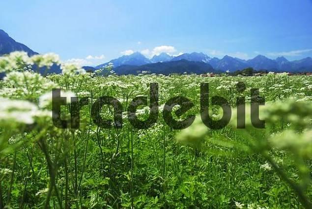 grasslands with yarrow, foothills of the alps, Allgäu, Bavaria, Germany, Europe