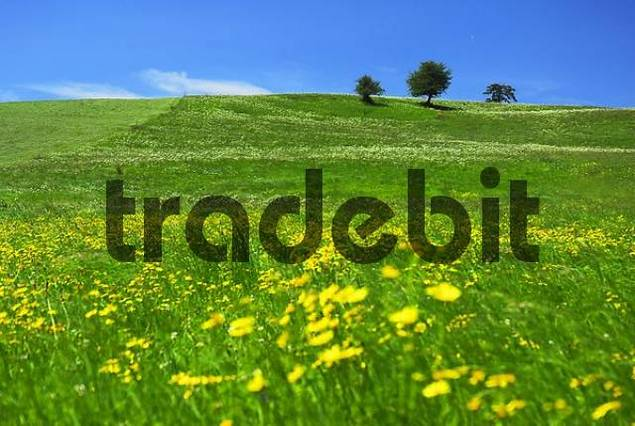 meadow landscape with flowers in the summer, Allgäu, Bavaria, Germany, Europe