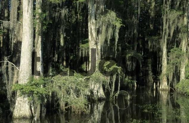 bald cypresses in a bayou of the Atchafalaya swamp or basin