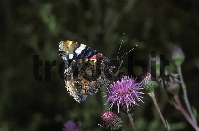 Red Admiral Vanessa atalanta Germany