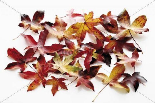 American Sweetgum, Redgum (Liquidambar styraciflua), autumn leaves