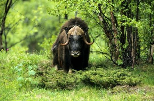 Muskox (Ovibos moschatus) in a birch forest