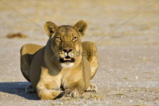 Lioness (Panthera leo), Nxai Pan, Makgadikgadi Pans National Park, Botswana, Africa