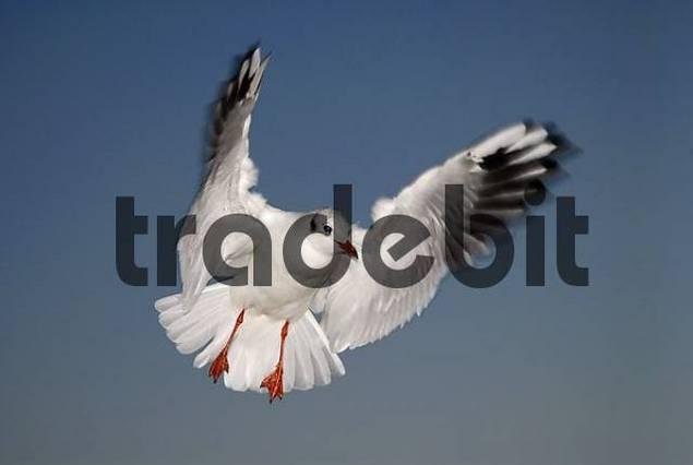 Black-headed gull Larus ridibundus in flight, winter coat, Germany