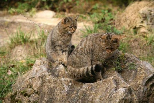 Wild Cats (Felis silvestris), Bad Mergentheim outdoor enclosure, Baden-Wuerttemberg, Germany, Europe