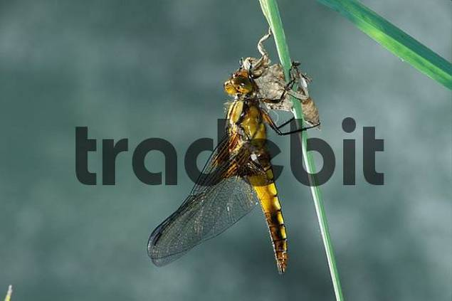 Number 9 of 10 in a series of photographs showing the development of a Broad-bodied Chaser Libellula depressa