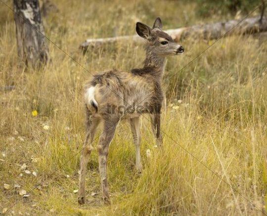 Fawn, young, Mule deer (Odocoileus hemionus), Yukon Territory, Canada