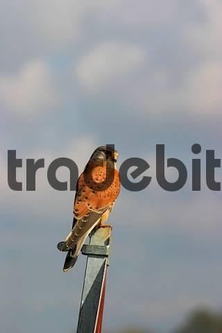 male Kestrel Falco tinnunculus