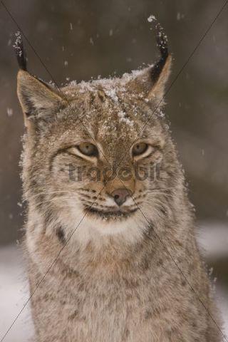 Lynx (Lynx lynx), portrait, Weilburg Zoo, Hesse, Germany, Europe