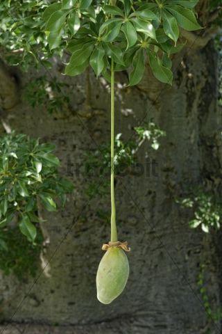 Fruit of the Baobab (Adansonia digitata)