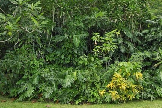 Rainforest vegetation, island of St. Croix, U.S. Virgin Islands, US...