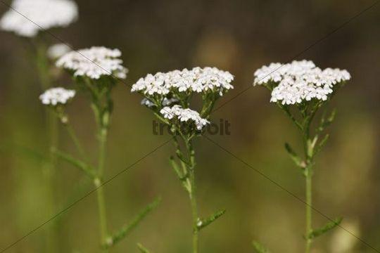 Yarrow (Achillea millefolium), medicinal plant