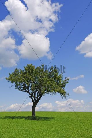Apple tree on a field, Hohenlohe, Baden-Wuerttemberg, Germany, Europe