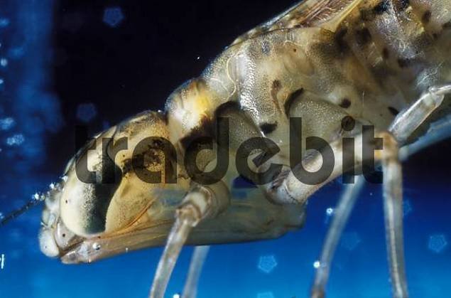 larva of Southern Hawker Aeshna cyanea Germany